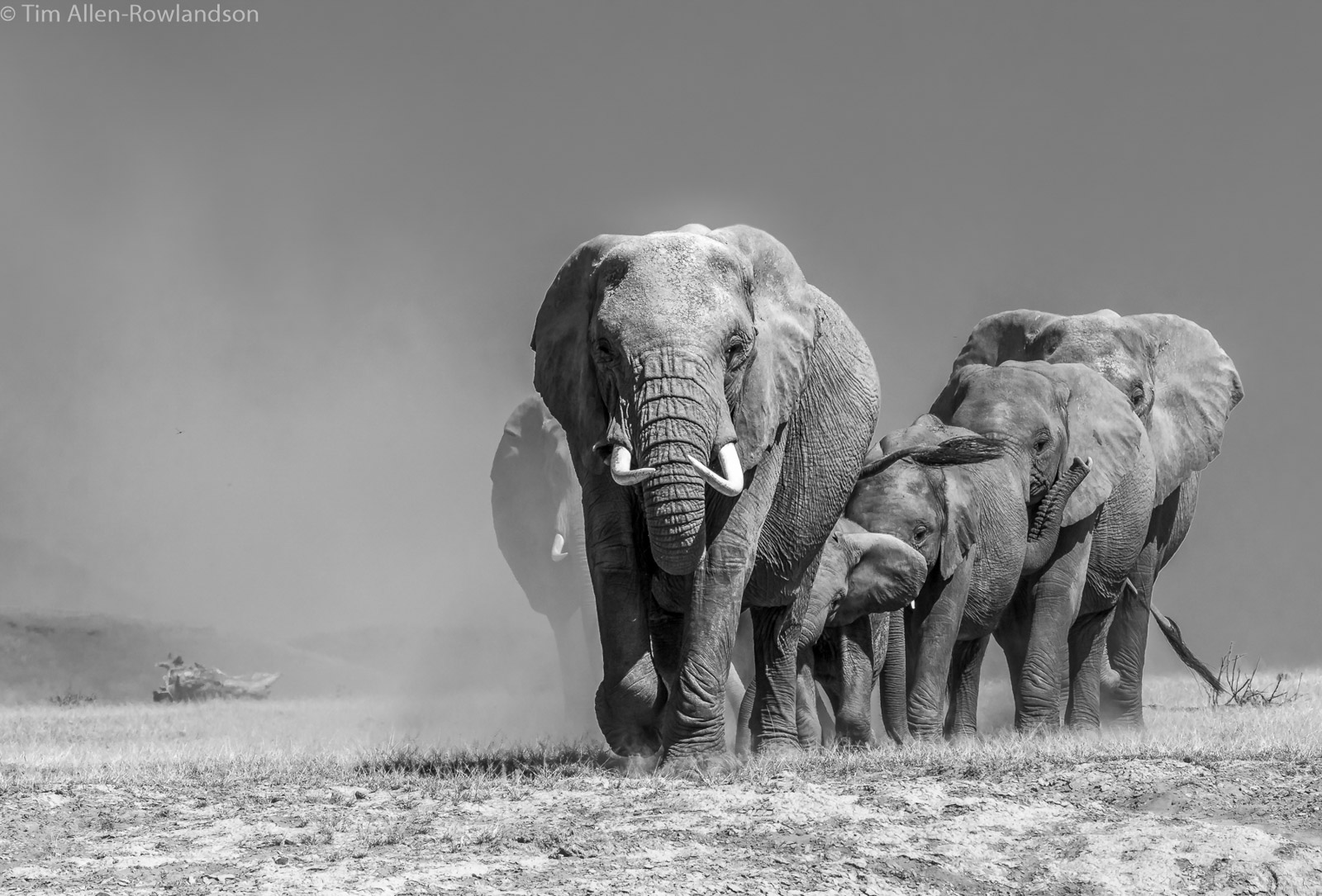 A small herd of elephants - followed by a large bull - heading towards a marshy area to feed, Amboseli
