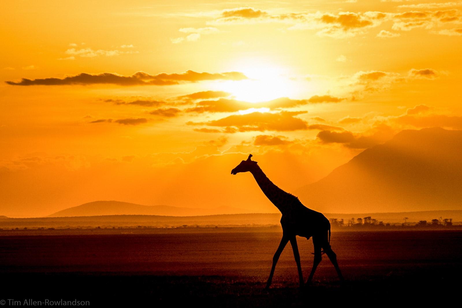 Giraffe bull, Amboseli