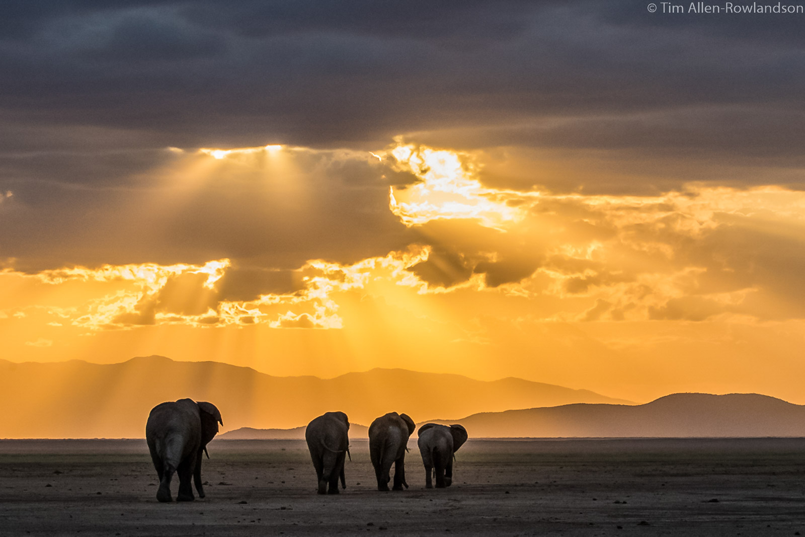 Small herd of elephants heading westwards at sunset, Amboseli