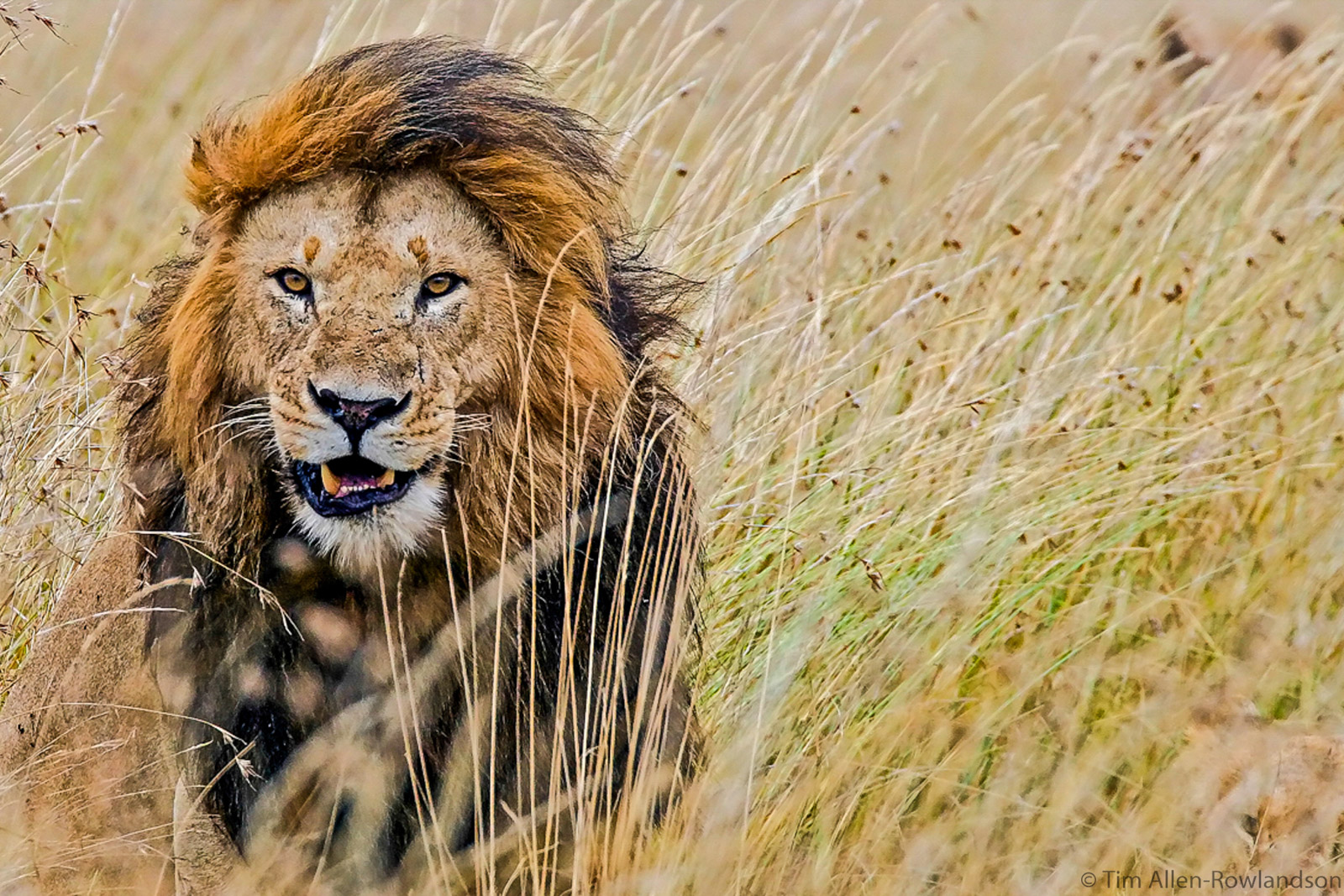 Lion male in long grass, Masai Mara