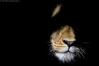 Lioness at night, Tsavo