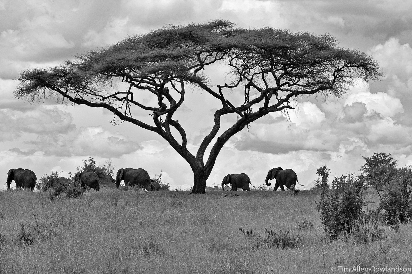 Black and white image of elephants and Acacia, Tarangire, Tanzania