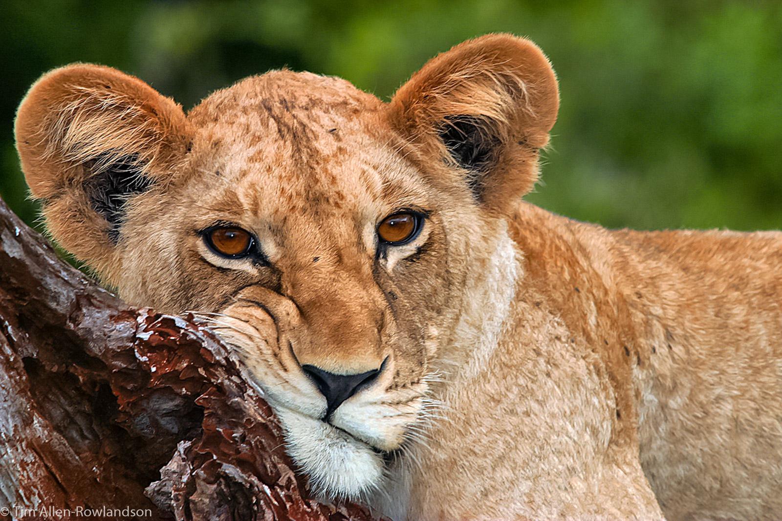Lion cub resting on a fallen tree trunk, Tsavo