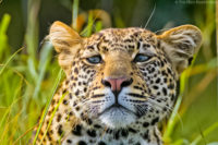 Young male leopard, Masai Mara