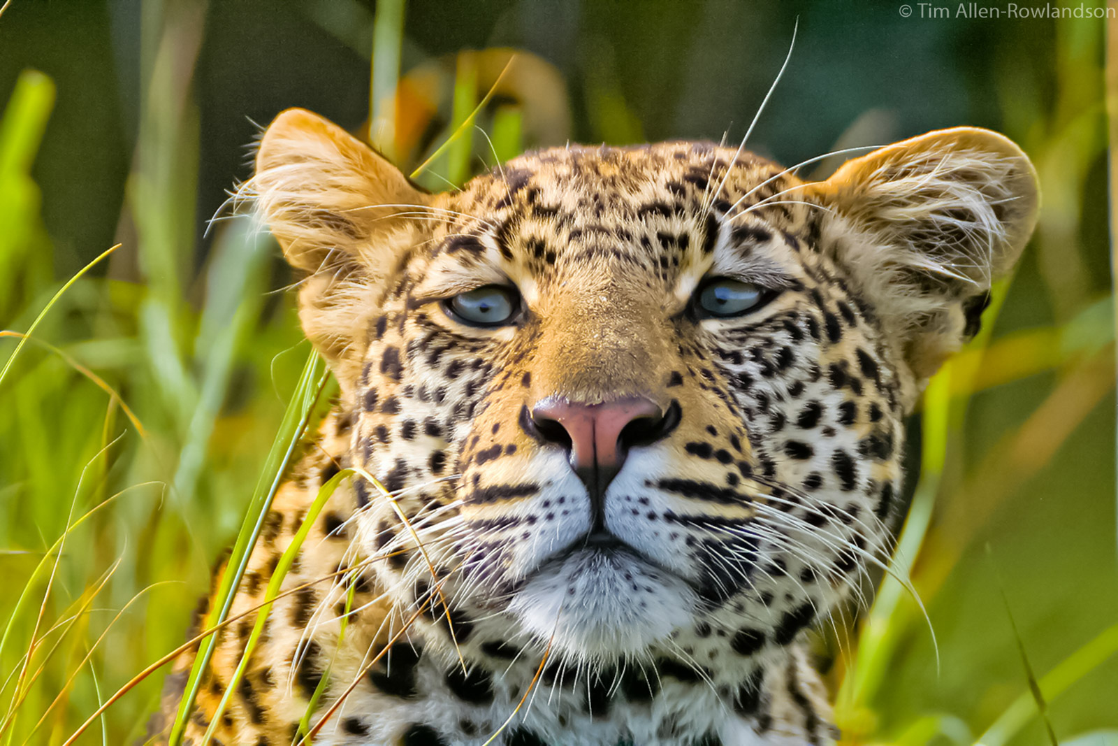Young male leopard, Masai Mara