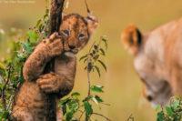 Lion cub climbing, Masai Mara
