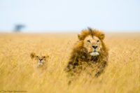Courting lions in long grass, Masai Mara