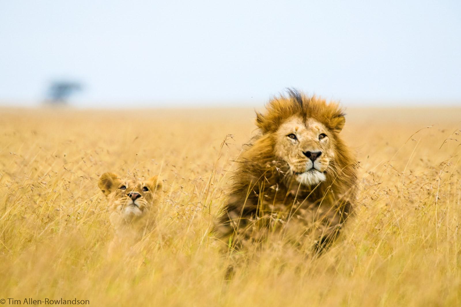 Courting lions in long grass, Masai Mara