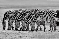 I watched this group of grazing zebras for some time and could see they were merging in a line, Ngorongoro