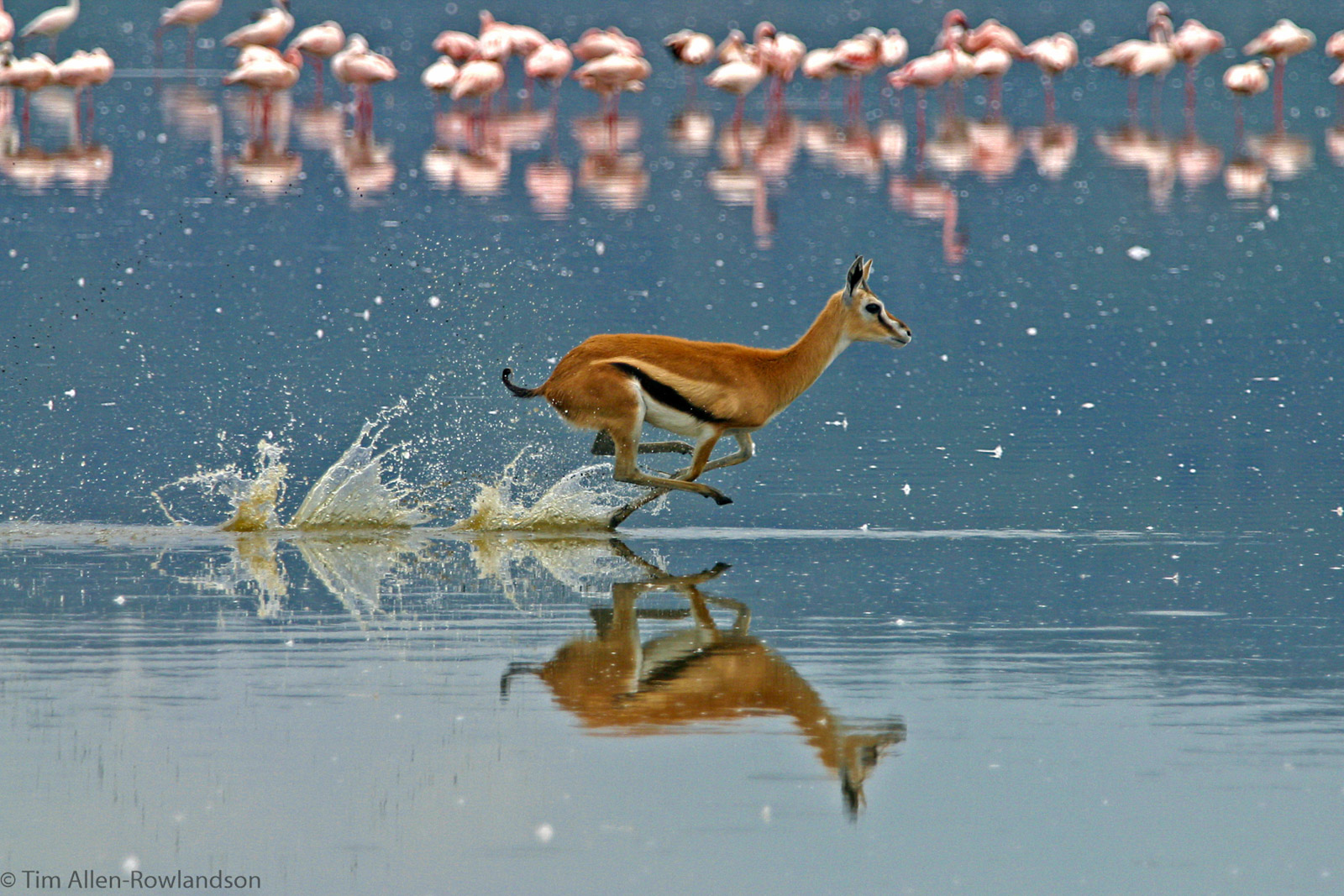 Female Thomson's gazelle sprinting through the shallow waters of Lake Nakuru, Kenya.