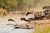 Wildebeest launching in to the Mara River during the great migration, Masai Mara