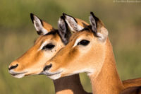A pair of female impala, early morning in the Serengeti