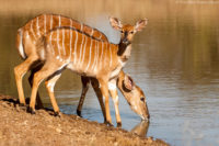 Female nyala and her calf drinking at a waterhole, Mkuze