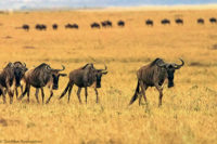 Migrating wildebeest in single file , Masai Mara