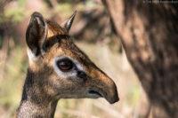 Female Kirk's dik-dik, Serengeti