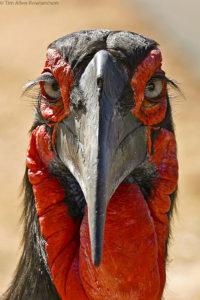 Ground hornbill, Kruger