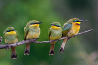A family of little bee-eaters, Masai Mara