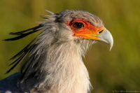 Secretary bird searching for prey in the early morning, Masai Mara