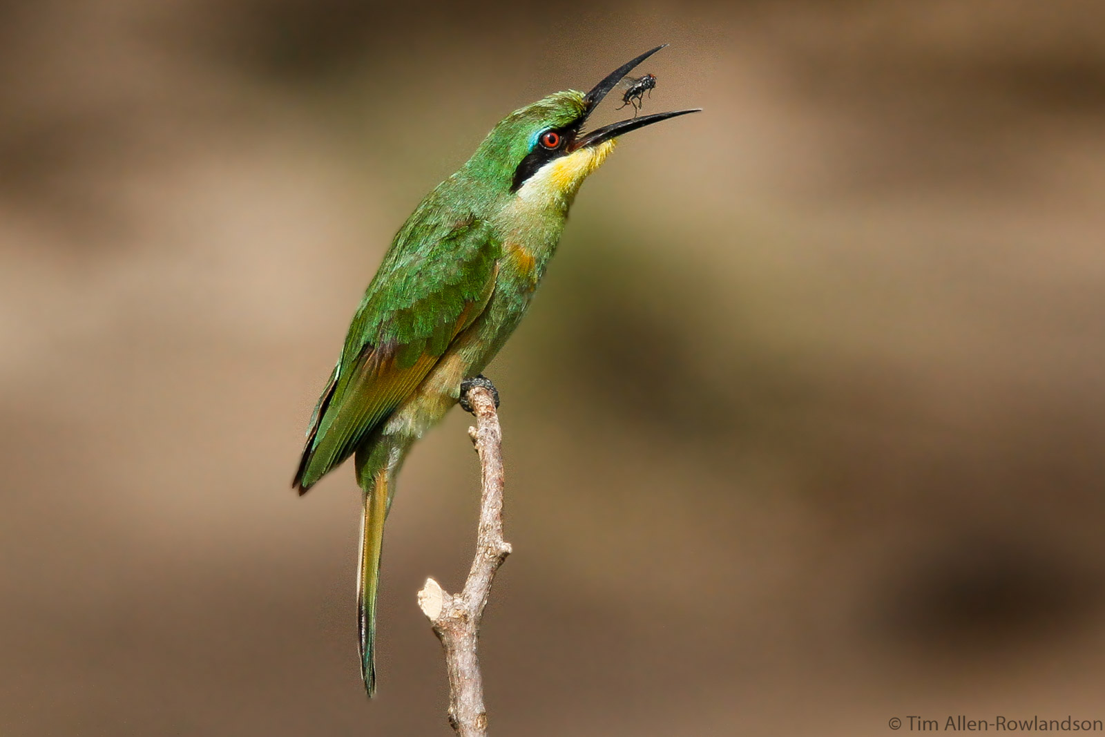 Little bee-eater with insect, Masai Mara