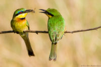 Adult little bee-eater feeding chick, Masai Mara