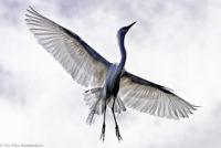 Egret in flight, Arusha, Tanzania