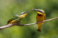 Little bee-eater feeding its maturing chick, Masai Mara