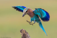 Juvenile lilac-breasted roller landing with an insect, Serengeti