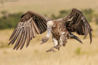 Ruppell's vulture landing to feed on a buffalo carcass, Masai Mara