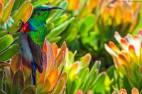 Male southern (lesser) double-collared sunbird on a sugarbush (Protea repens)