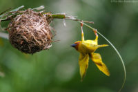 Male African golden weaver displaying outside of his nest. If any female approves of his handiwork after a thorough inspection, she will mate and move in.