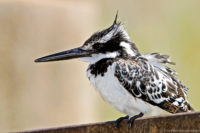Pied kingfisher, Kruger