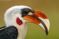 Male Von der Decken's hornbill, Tsavo