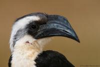 Juvenile Von der Deckens hornbill, Tsavo