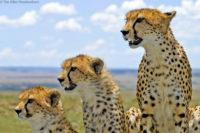 Cheetah family, Masai Mara, Kenya
