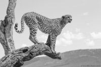 Male cheetah using the trunk of a dead tree to get a higher view of his surroundings, Masai Mara