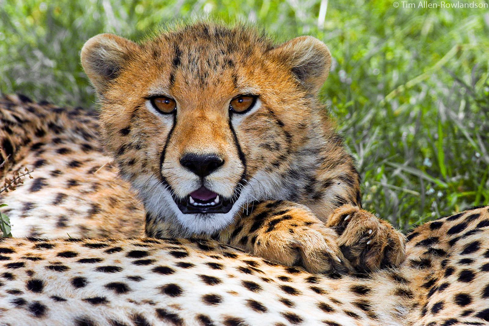 Young cheetah taking a rest on mum. Masai Mara