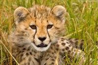 Young cheetah, Masai Mara
