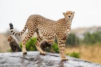 Cheetah and her two cubs in the rain, Masai Mara,