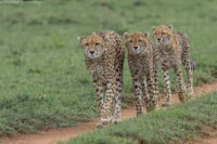 Cheetah and two of her four sub-adult cubs on the move, Masai Mara