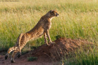 Adult cheetah scanning for potential prey while having a stretch, Masai Mara