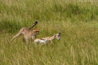 Female cheetah catching a Thomson's gazelle, Masai Mara