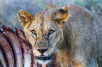 Glaring young male lion on a kill, Tsavo