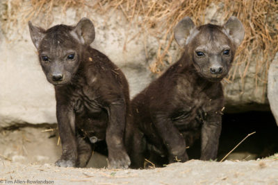 Two spotted hyena cubs emerging from their den, Ngorongoro