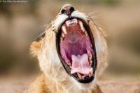 Young female lion yawning, Masai Mara