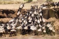 Wildebeest bottleneck, Masai Mara
