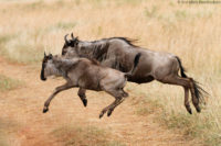Migrating wildebeest leaping across a track in the Masai Mara