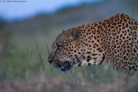 Massive male leopard on the move at dusk, having spent all day resting in a tree, Masai Mara
