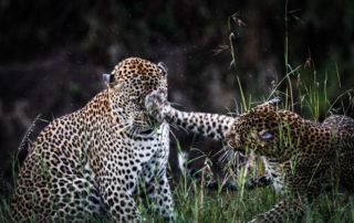 Leopards courting after a rain shower, Masai Mara