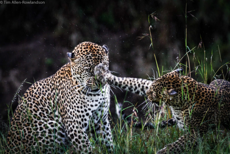 Leopards courting after a rain shower, Masai Mara