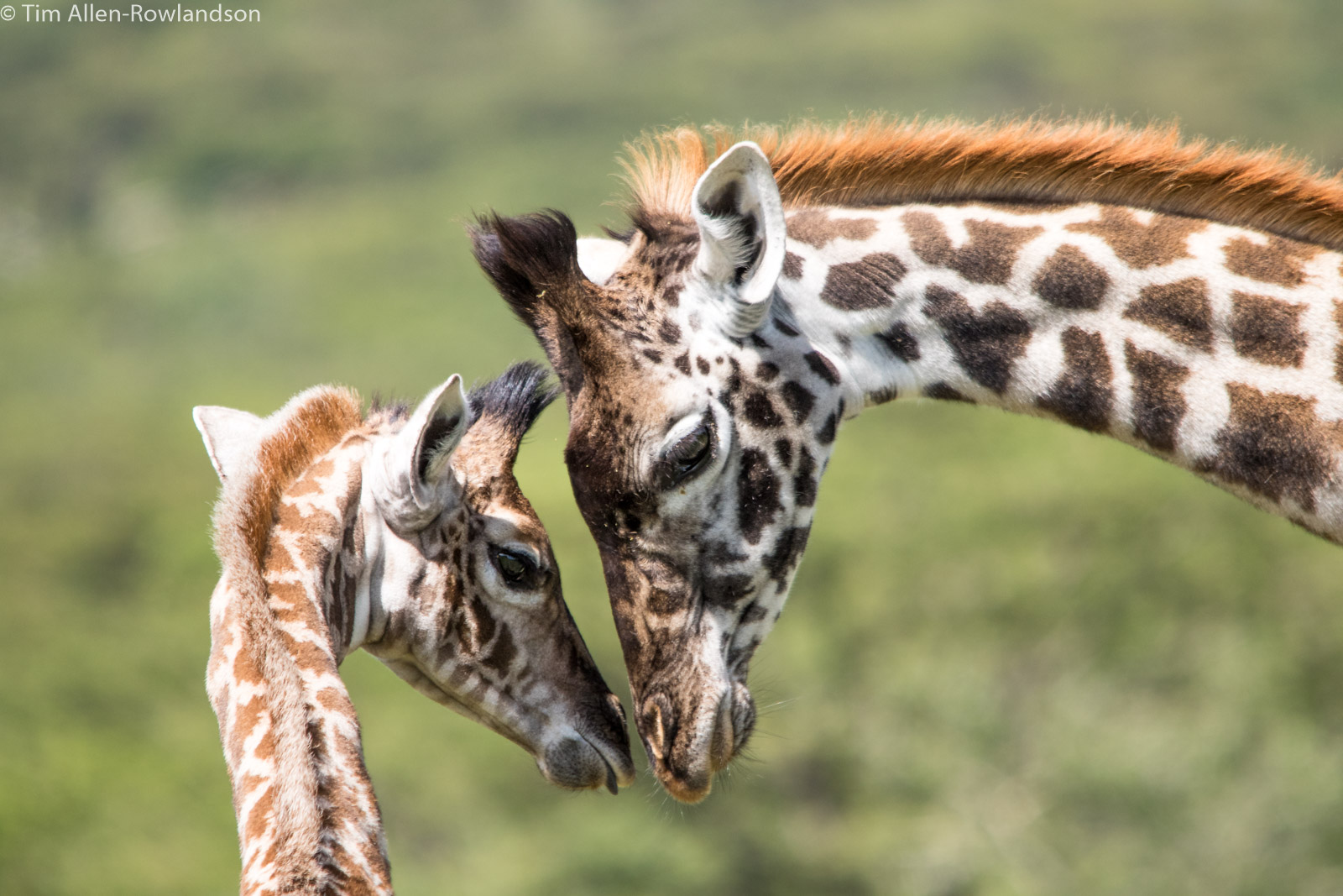 Giraffe mother and calf bonding, Serengeti